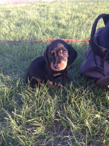 Bailey Adopted New Mexico Dachshund Rescue